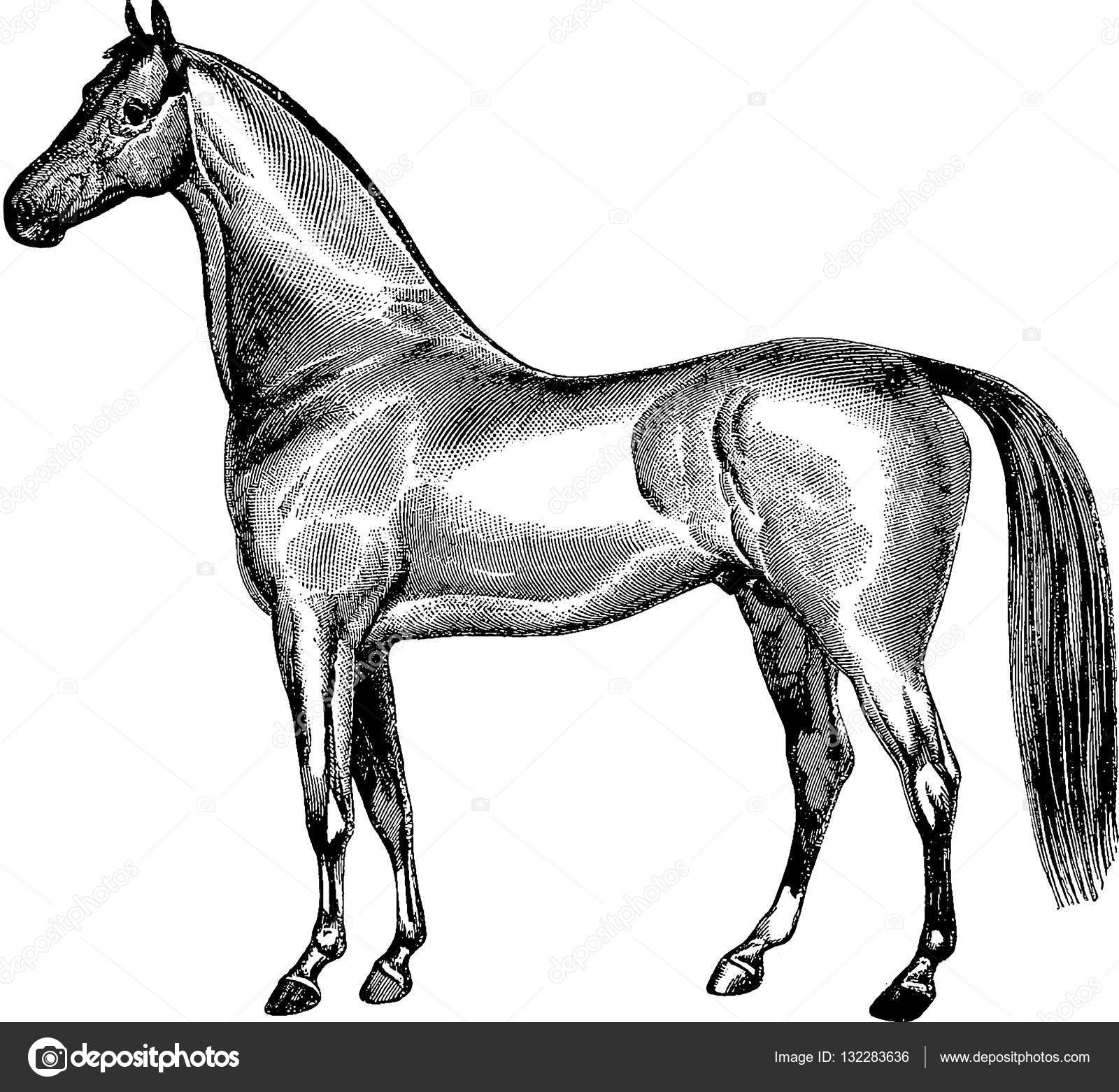 ᐈ Horse Drawing Stock Drawings Royalty Free Horse Pictures Drawing Images Download On Depositphotos