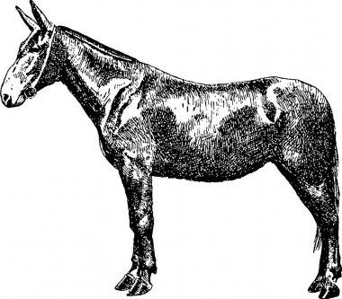 Vintage image mule
