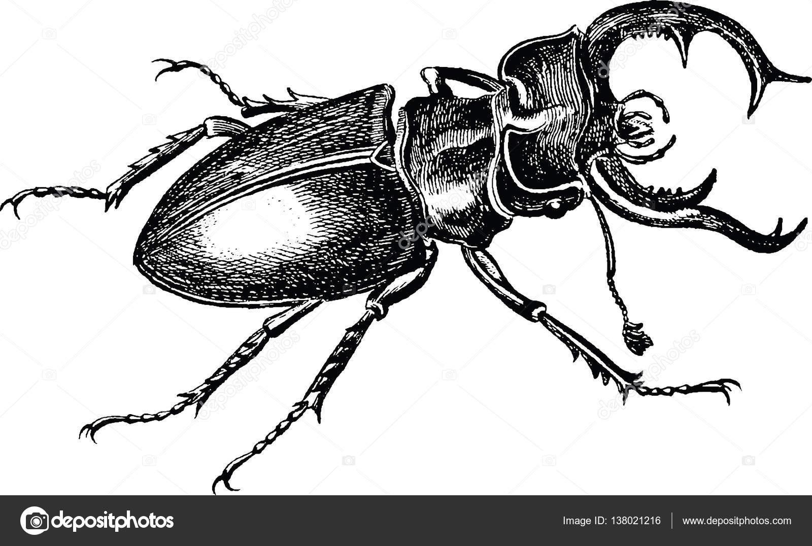 Черно-белые картинки жук-олень