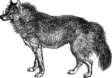 Vintage image wolf