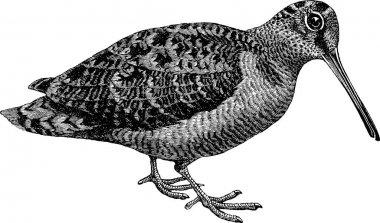 Vintage image woodcock
