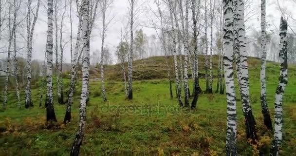 podzim v lese břízy