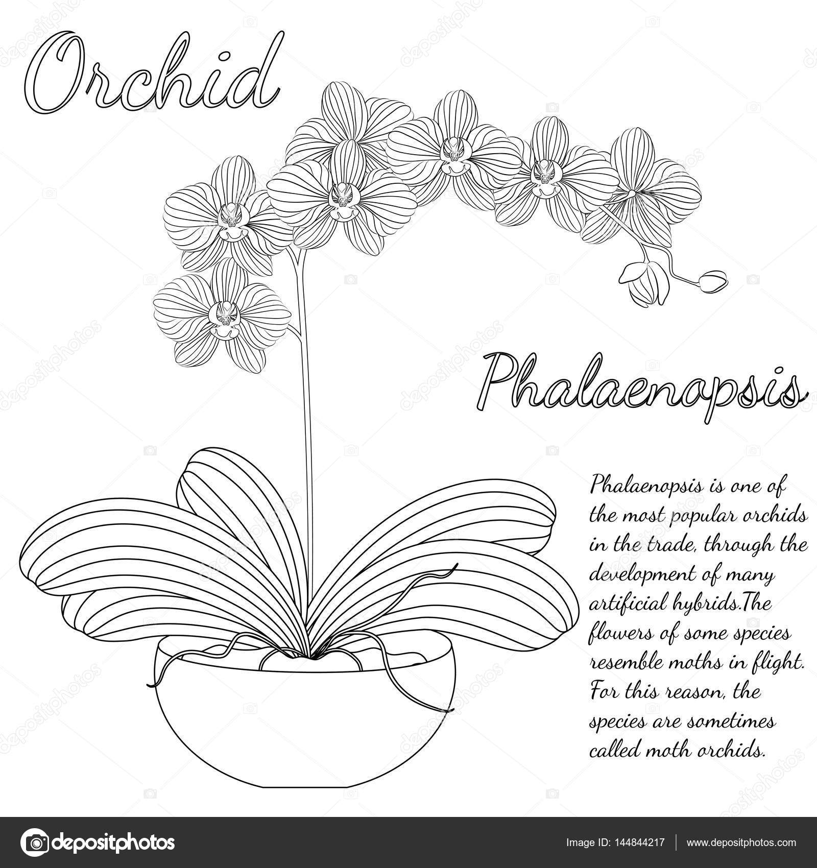 Vector Illustration Beautiful Phalaenopsis Orchid In A Flower Pot