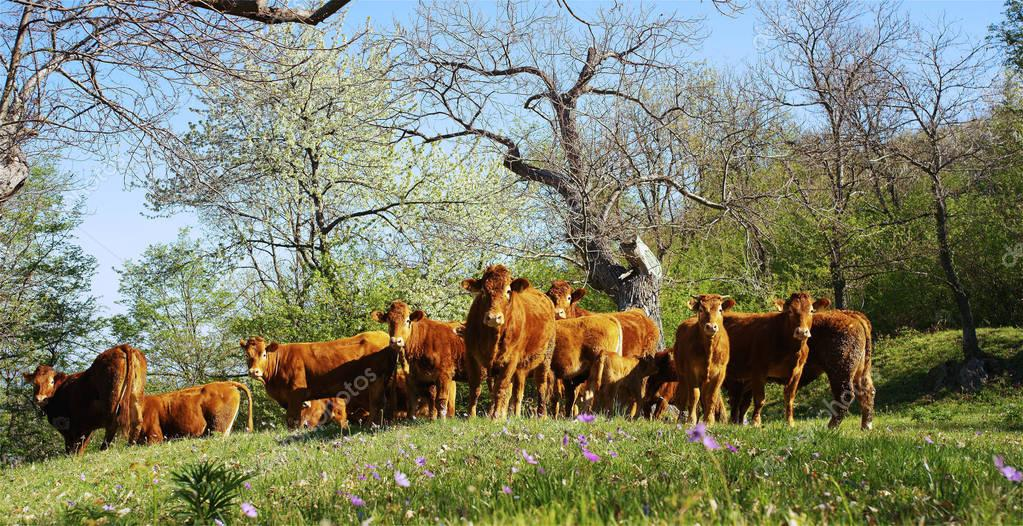 On the farm from the pen for a walk released a beautiful, well-groomed herd of cows (brown), beautiful filming from the side, on background of gras and trees, concept: ecology, livestock, bio.