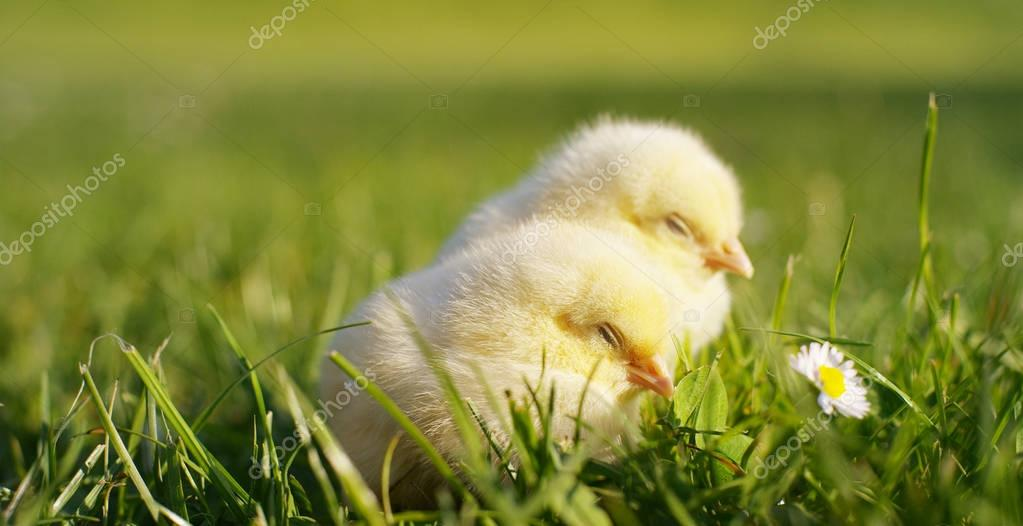 On a sunny day, little yellow chicks sitting in the grass, in the background of green grass and trees, concept: farming, ecology, bio, easter, love.