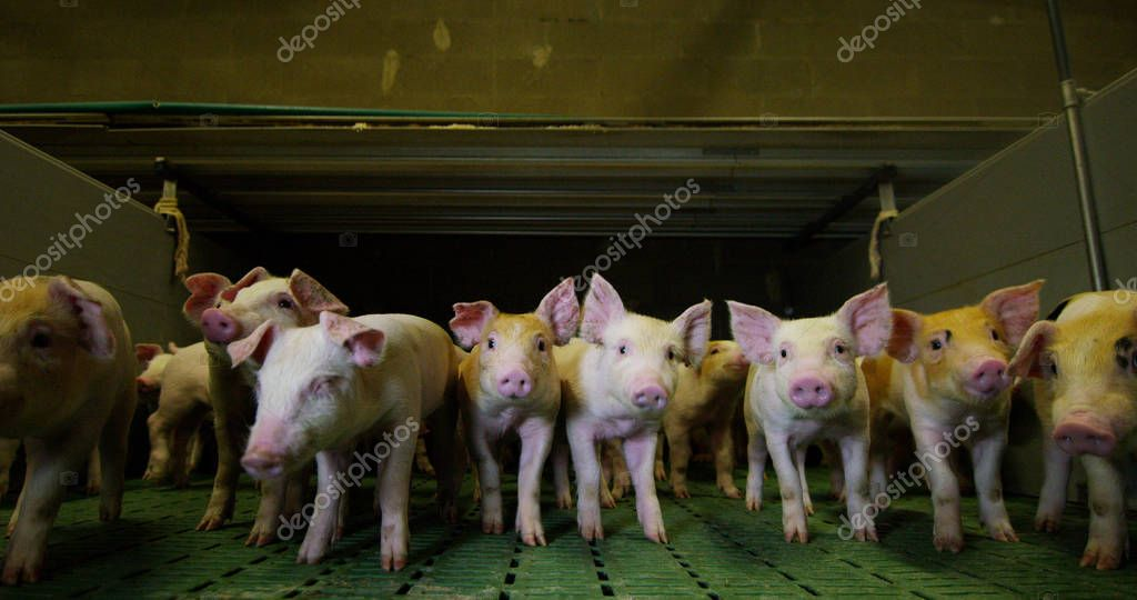 On the farm, in the pen of a group of pigs (pink, brown),like and lie in the mud, the concept: ecology, livestock, farming, bio, nutrition.