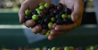 expert hand of quality controller of italian olives to get perfect tasty special oil