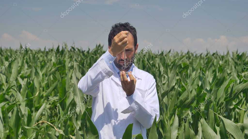 A plant specialist, examines the corn fields, in a white coat takes a sample of leaf moisture, a background of greenery Concept ecology corn bio product inspection water natural products, professional