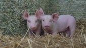 piglet newborn standing on a straw in the farm