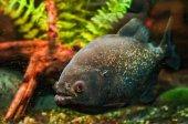 Piraňa ryb pod vodou