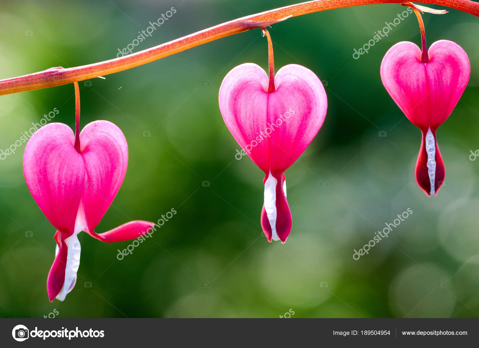 Pretty pink bleeding heart flowers string out on a branch stock close up of a cluster of bleeding hearts growing in the springdicentra spectabilis in the garden photo by fortise mightylinksfo