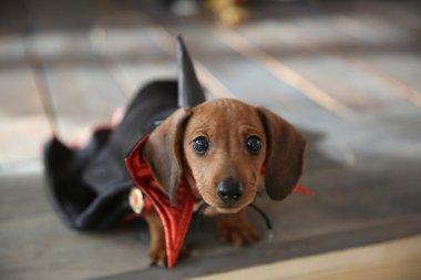 Dachshund puppy in heloween costume