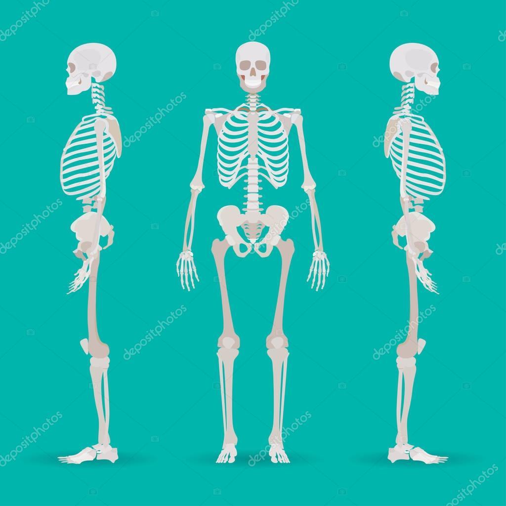 Skelett Anatomie Seite. Medizinische Illustration. Vektor ...