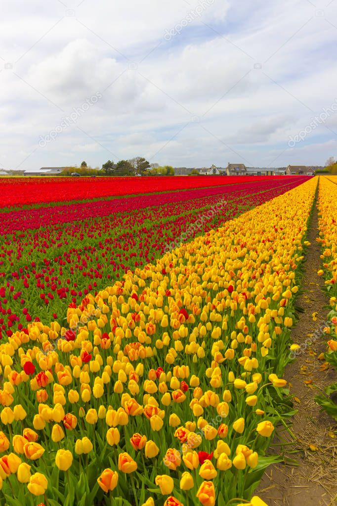 Beautiful flower field in spring time in The Netherlands