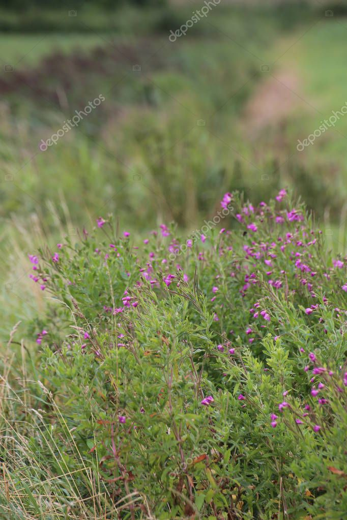 Blossoming Epilobium hirsutum, the great hairy willowherb