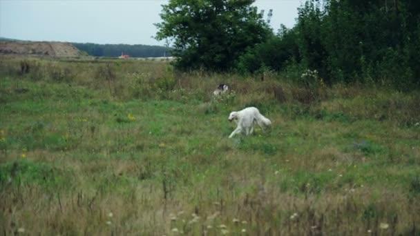 Segugio russo su a piedi in un campo in erba
