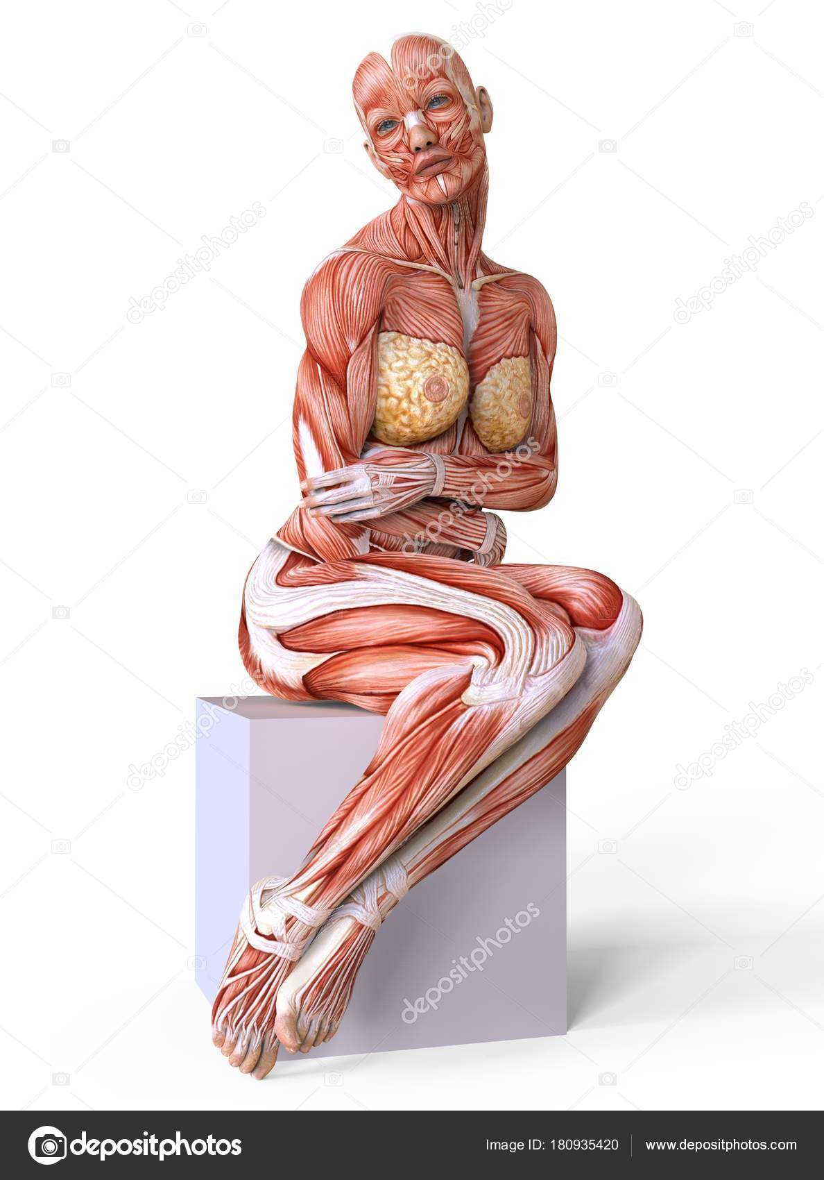 Female anatomy and muscles, body without skin isolated on white ...