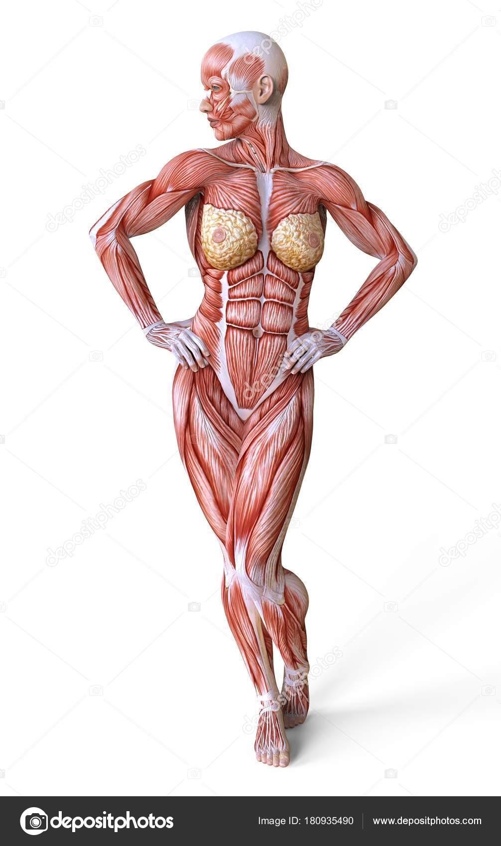 Weibliche Anatomie und Muskeln, Körper ohne Haut isoliert auf weiss ...