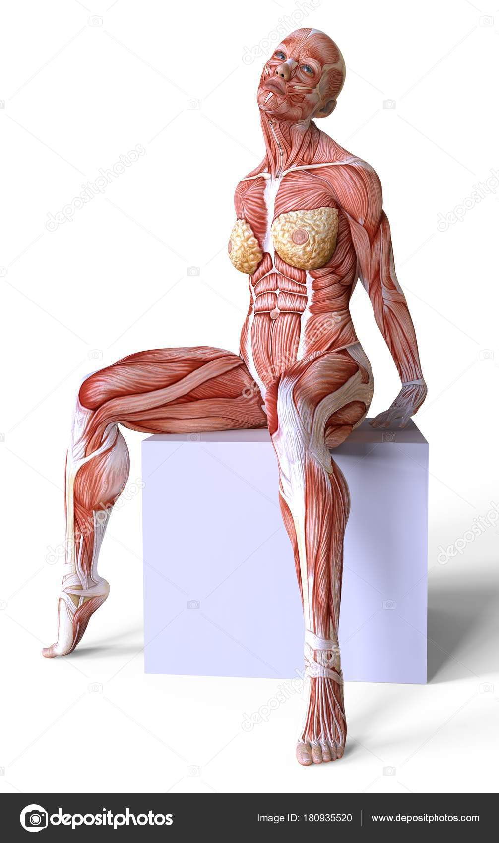 Female Anatomy And Muscles Body Without Skin Isolated On White
