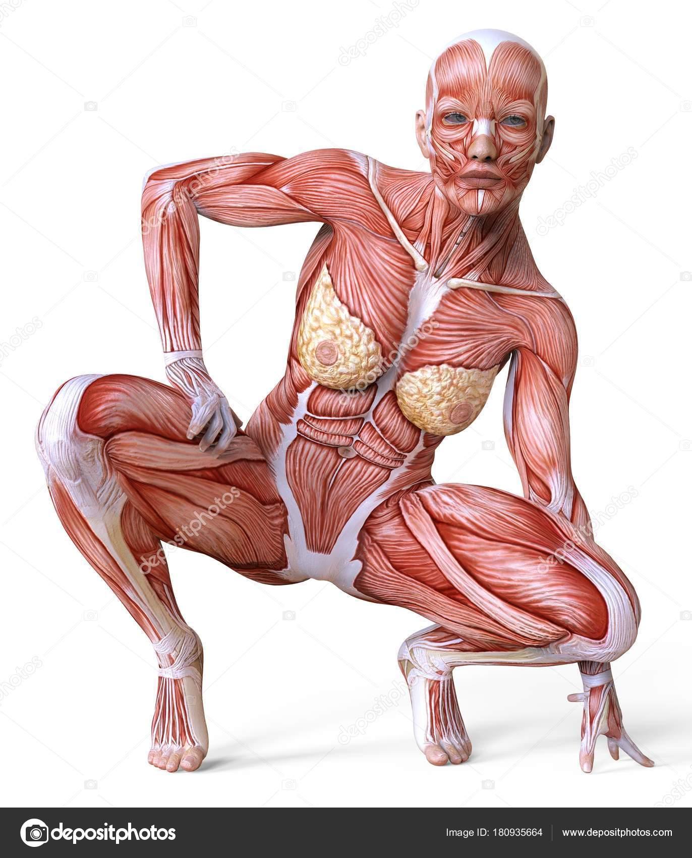 Anatomía femenina y los músculos, cuerpo sin piel aislada en blanco ...