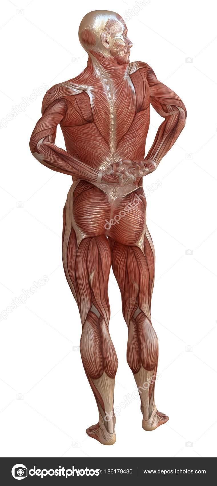 Cuerpo masculino sin piel, anatomía y músculos ilustración 3d ...