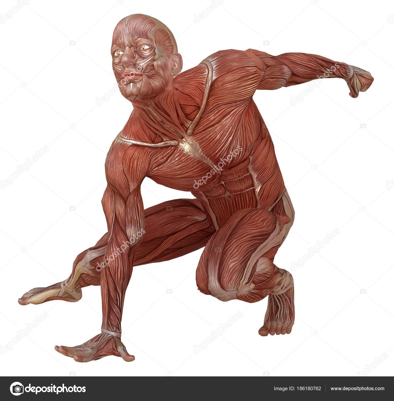 Corpo masculino sem pele, músculos e anatomia 3d ilustração isolado ...