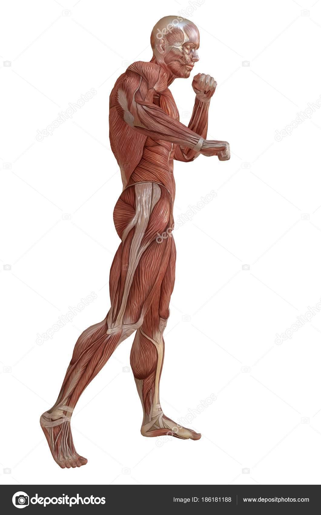 Männlichen Körper ohne Haut, Anatomie und Muskeln 3D-Illustration ...