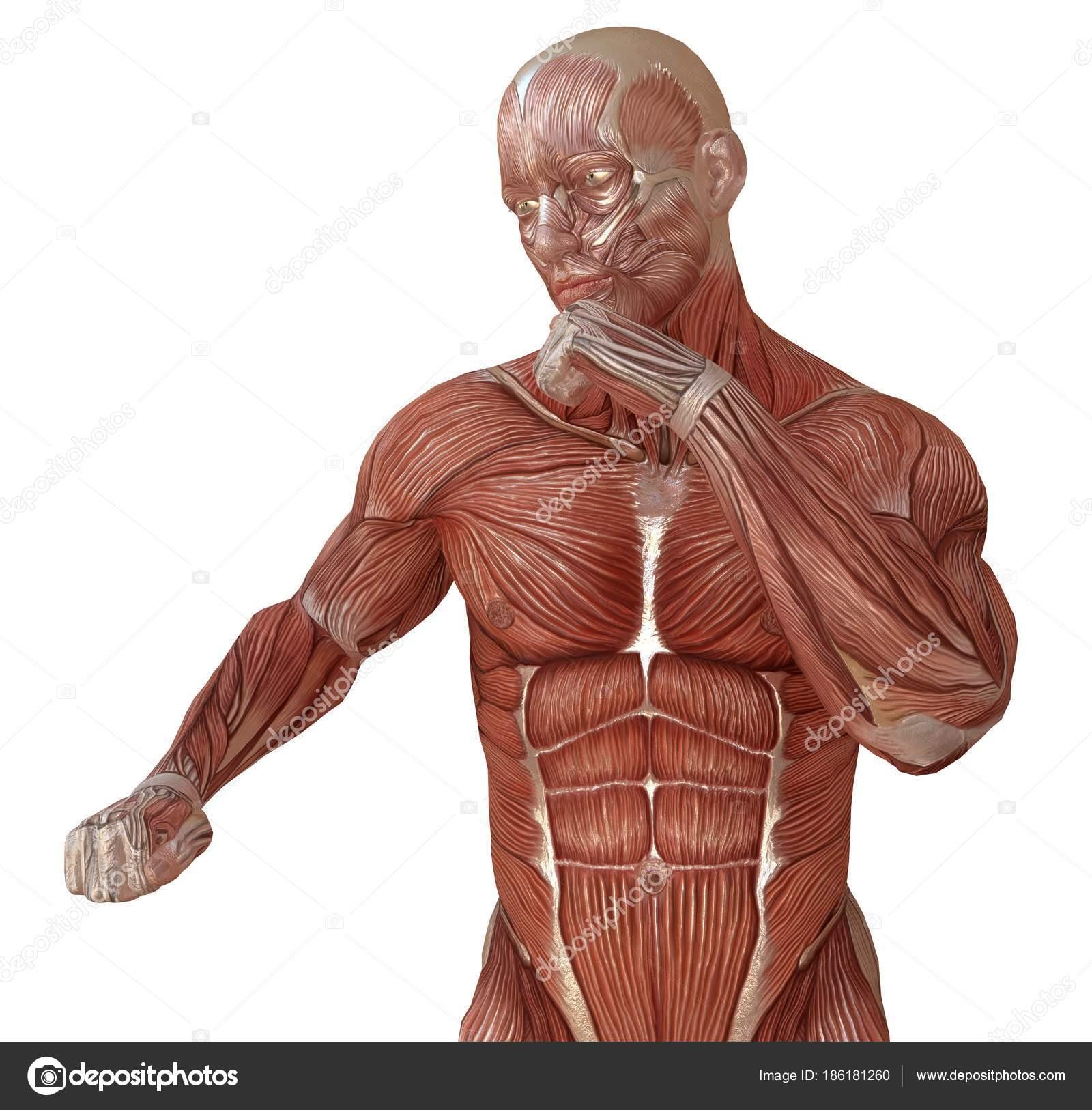 Corpo masculino sem pele msculos e anatomia 3d ilustrao isolado corpo masculino sem pele msculos e anatomia 3d ilustrao isolado no branco fotografia de ccuart Images