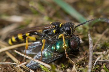 Field digger wasp (Mellinus arvensis) with fly prey
