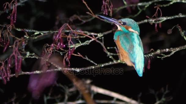 Ledňáček říční (Alcedo atthis) sedí na větvi v noci