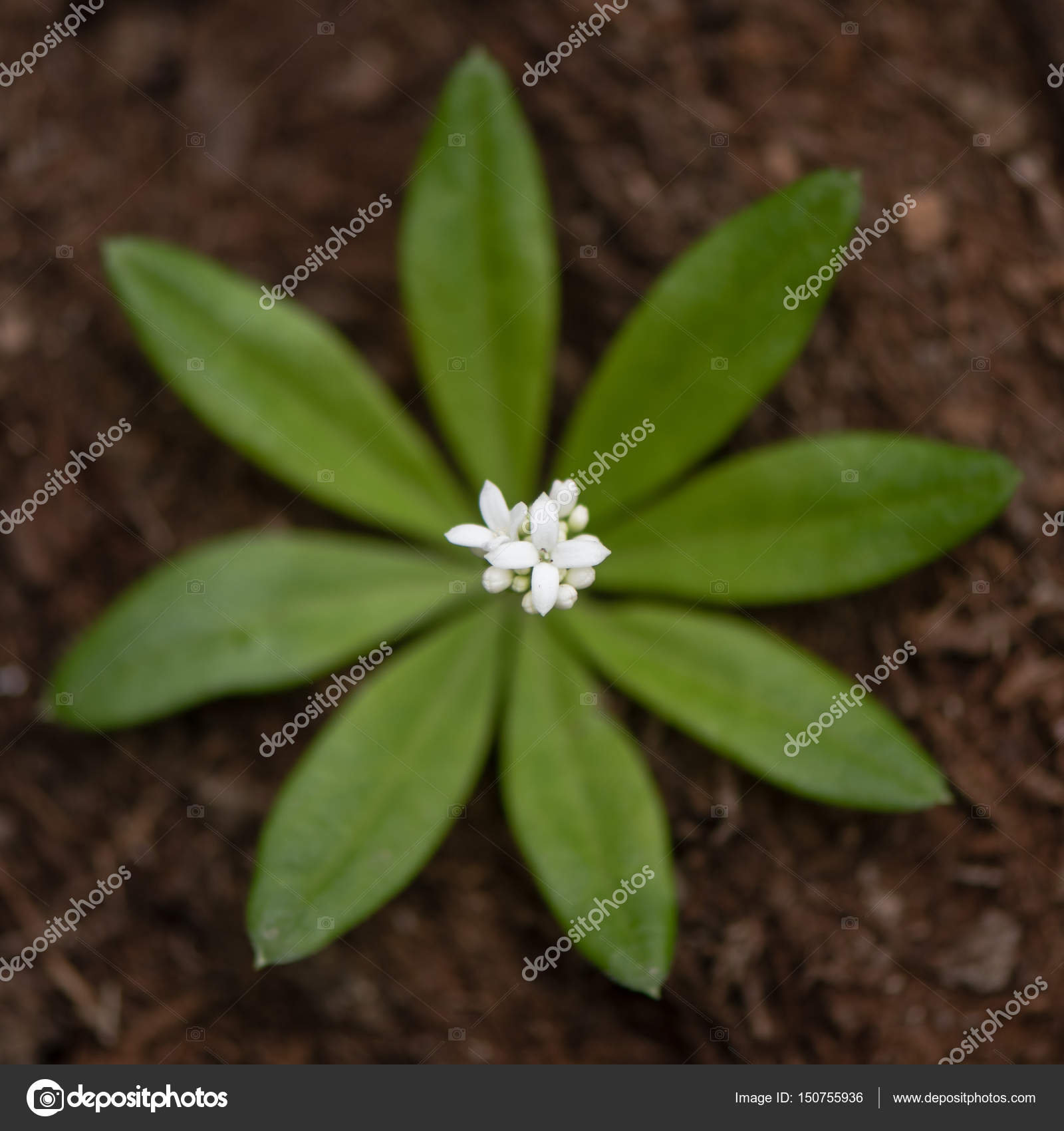 Woodruff Galium Odoratum Flowers And Leaves From Above Stock