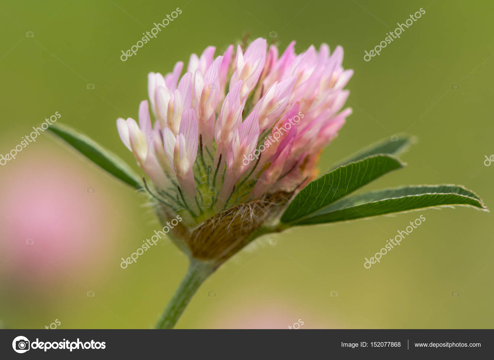 Tete De Fleur De Trefle Rouge Trifolium Pratense Photographie