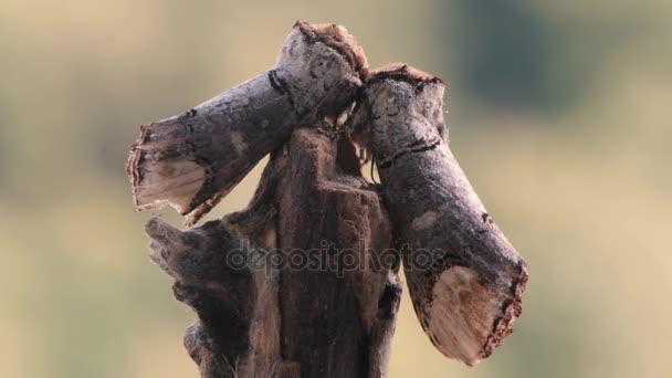 Pár bottal buff-tip lepkék (Phalera bucephala)