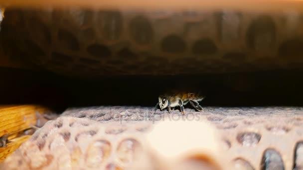 Mézet a méhek (Apis mellifera) belül a méh kaptár. A család Méhfélék, a méz fésű belül fészek rovarok