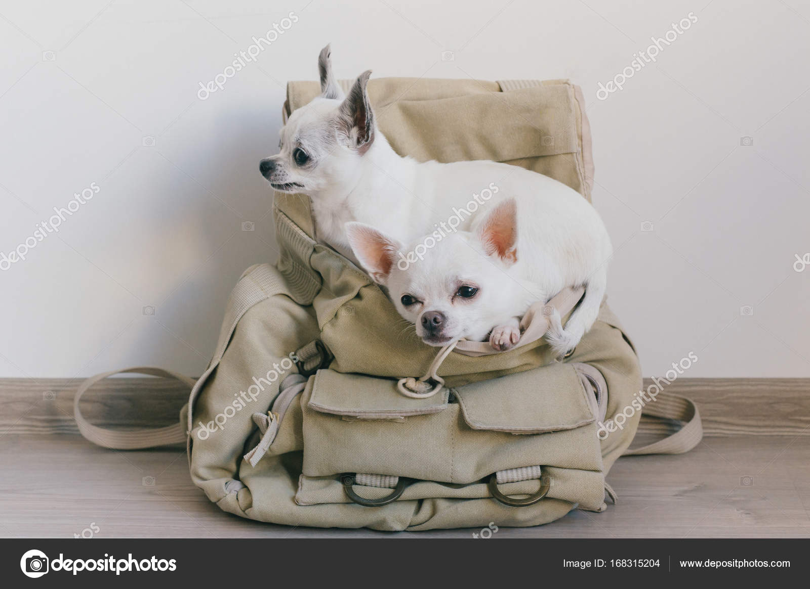 Two Chihuahua Puppies Sitting In Pocket Of Hipster Canvas Backpack With Funny Faces And Looking Different Ways Dogs Travel Comfortable Relax