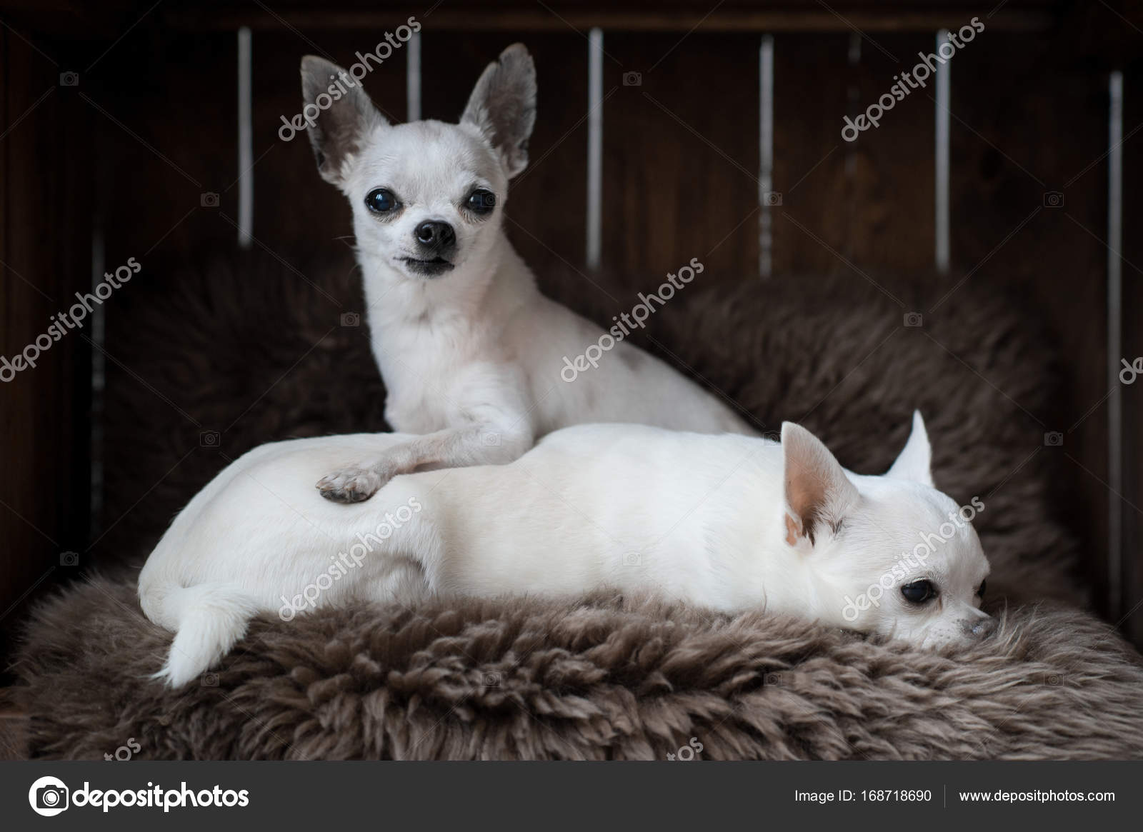 chihuahua dog houses two little chihuahua puppies with funny faces laying in a 4671