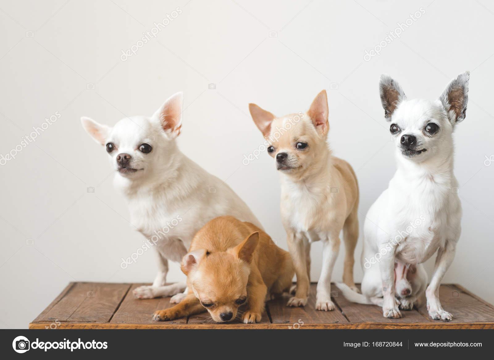 Quattro Razza Domestica Giovane Bella Carina Mammifero Chihuahua