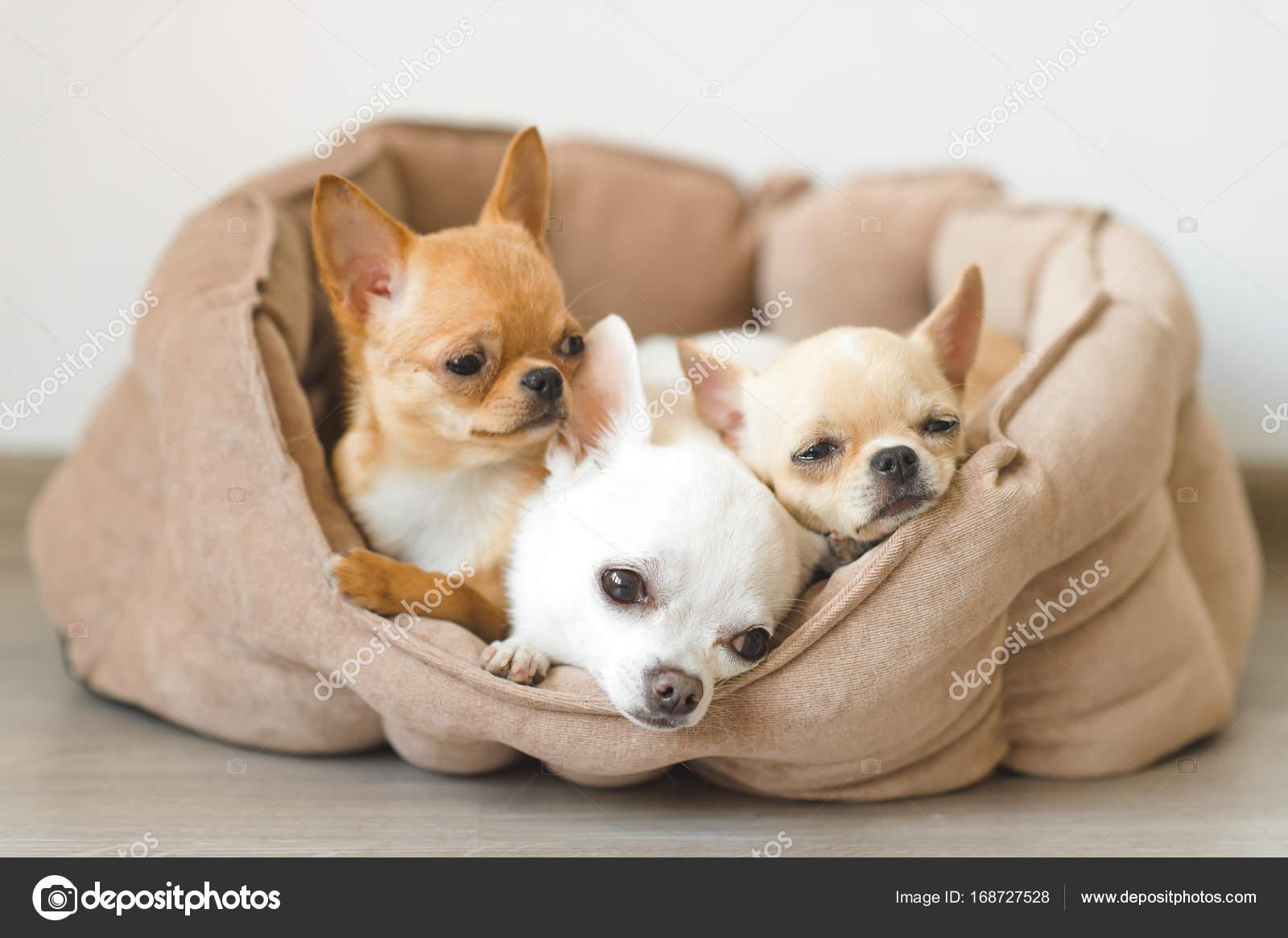 Primo Piano Di Razza Domestica Bella Carina Mammifero Chihuahua