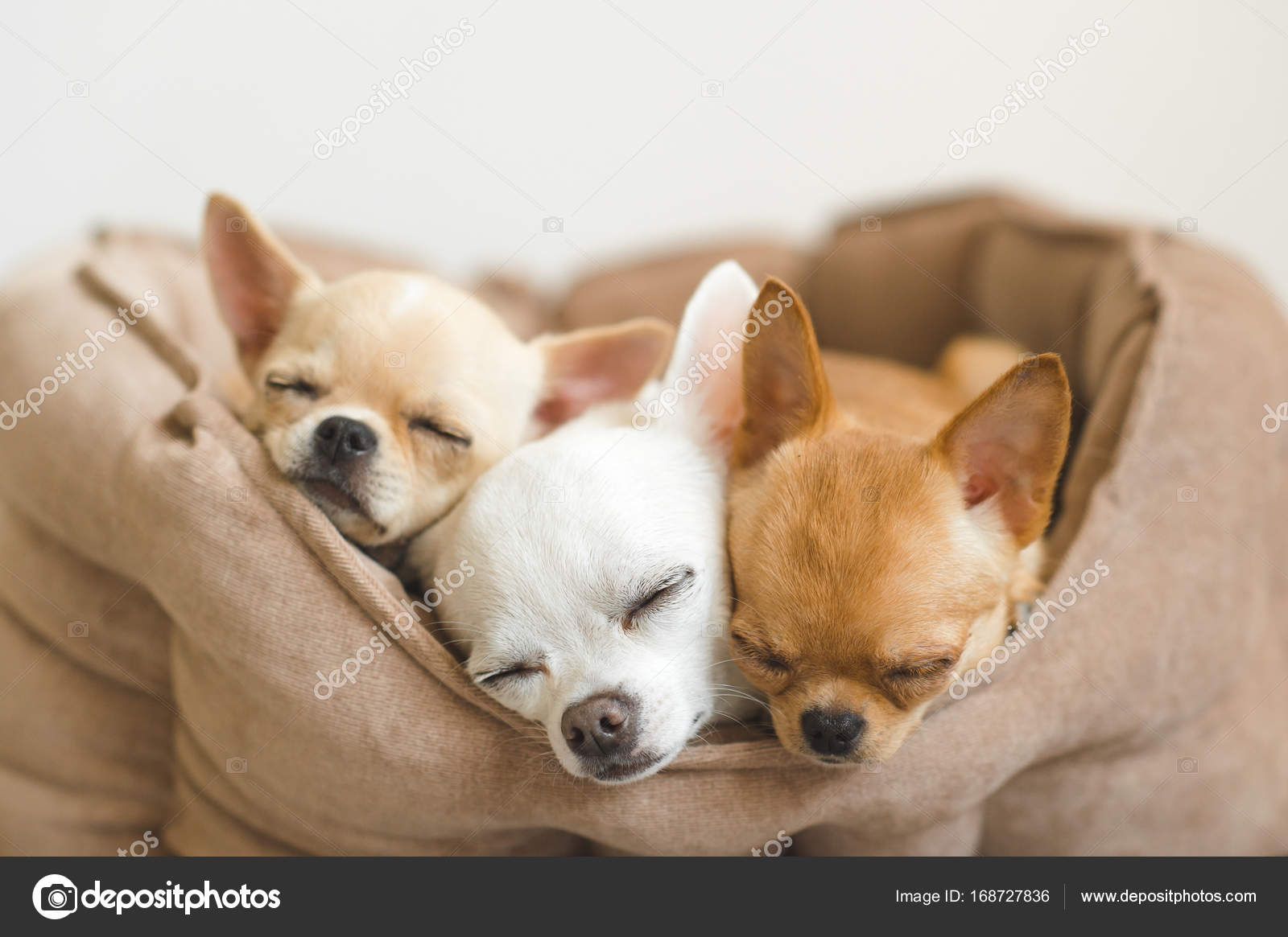 closeup of lovely, cute domestic breed mammal chihuahua puppies