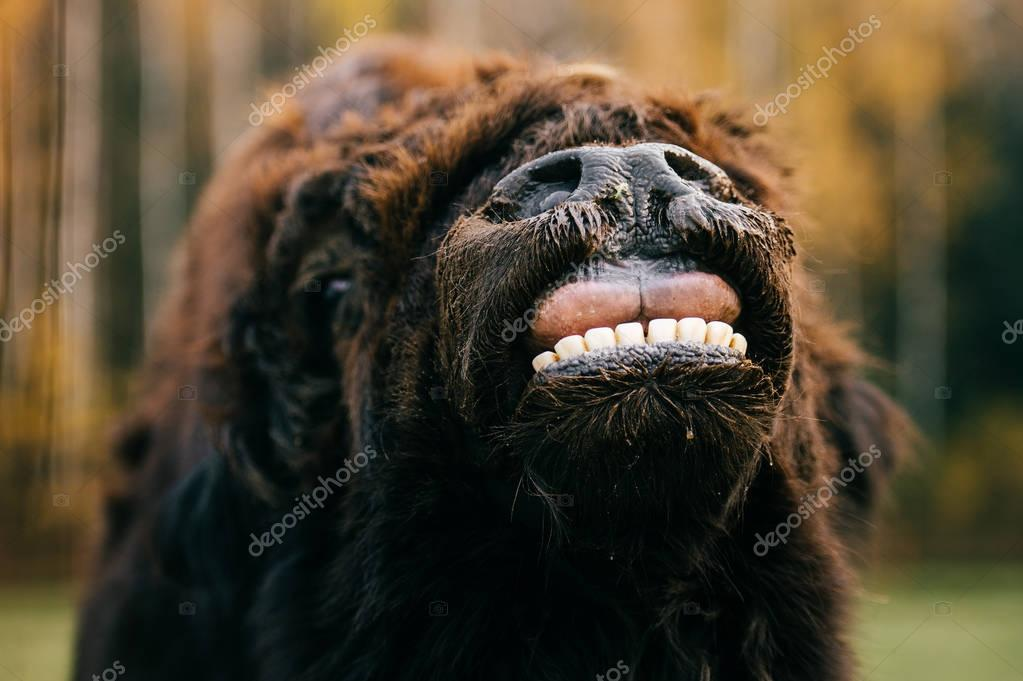 Scary fearful weird odd beast howling. Wild dangerous animal outdoor closeup portrait. Strong huge yak monster terrible jaws. Mouth wide opened. Buffalo teeth, mouth and tongue. Primal animal terror.