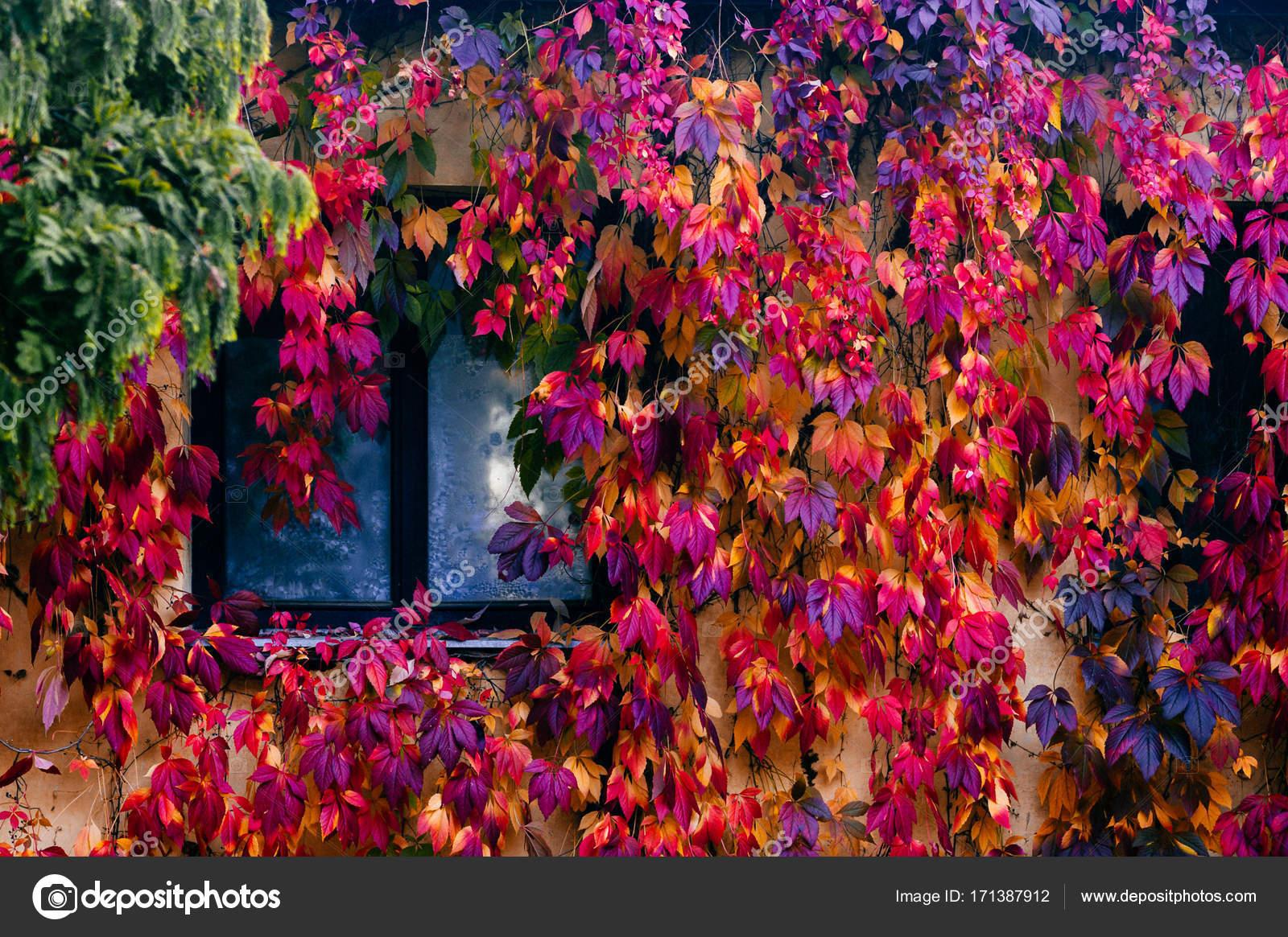 Altes Gemütliches Haus Im Europäischen Stil. Wand Mit Reflexionen Im  Fenster. Bunten Efeu Fährt Um Vintage Fassade. Bunte Schöne Herbst Tapete.