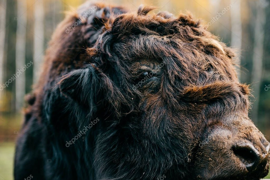 Closeup artistic portrait of primal ancient beast muzzle. Furry and funny mammoth hairy face. Prehistoric and endangered species in zoo. Wild danger angry mammal animal. Mongolian yak in wild terrain