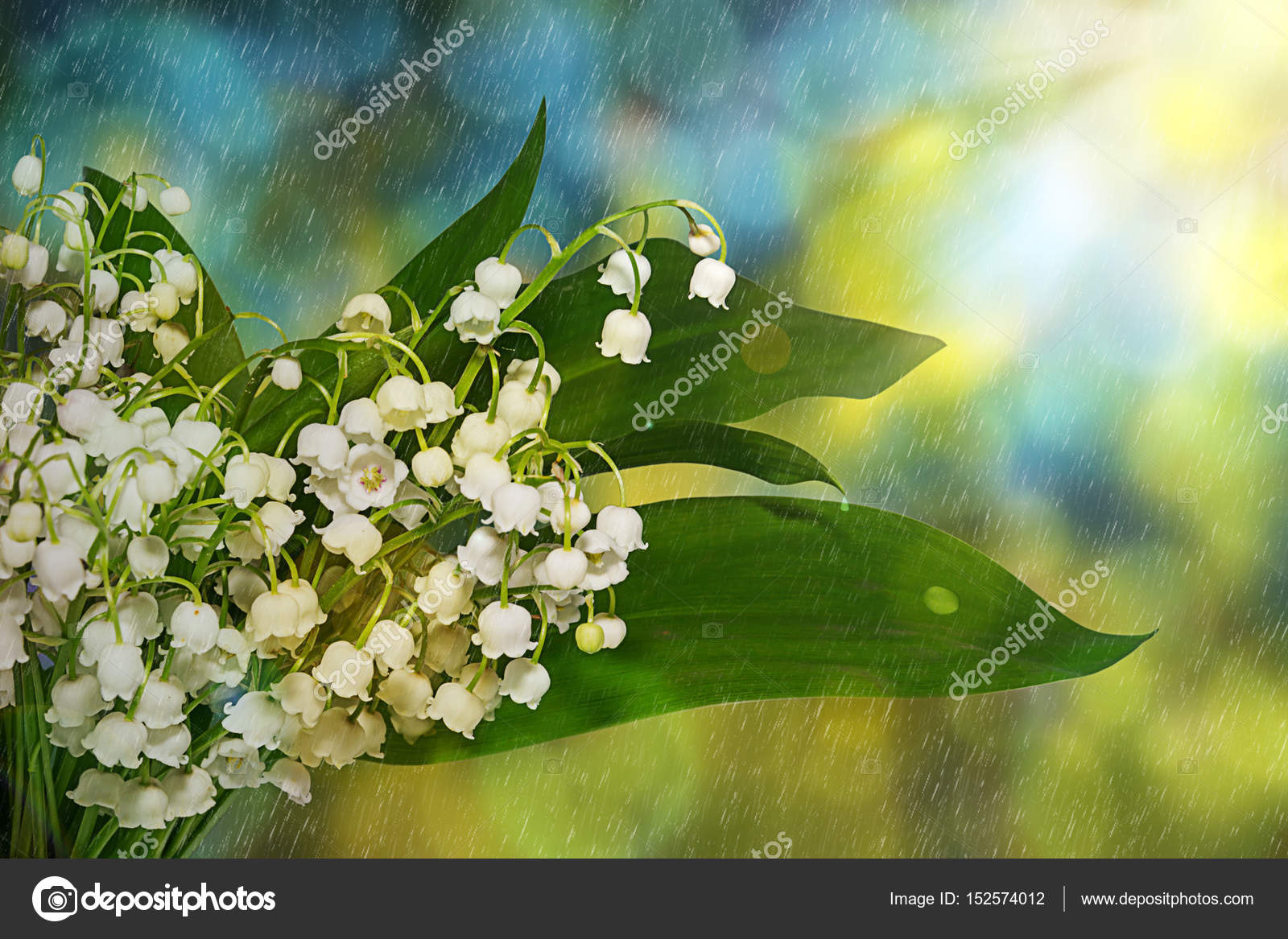 Lily Of The Valley Flowers Spring Flowers In The Early Morning In