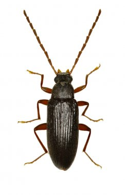 Comb-clawed Beetle Allecula on white Background  -  Allecula morio (Fabricius, 1787)