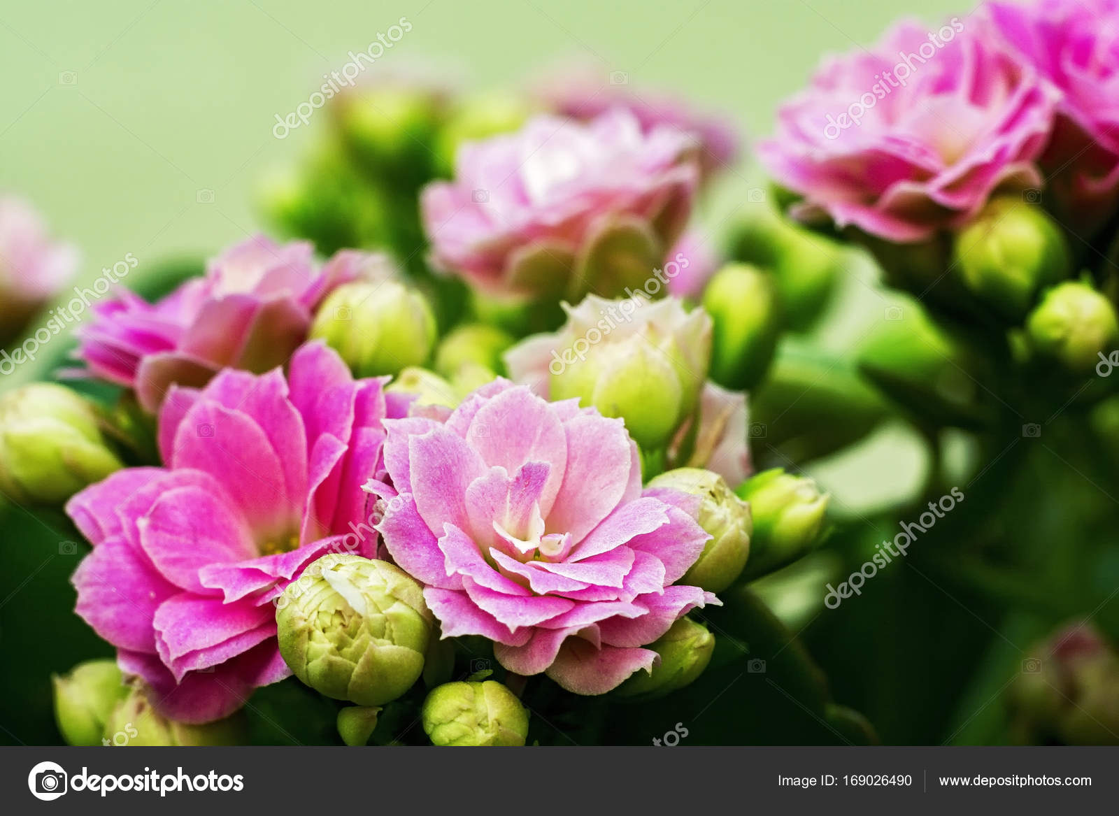 White Pink Flowers Of Kalanchoe Kind Of Succulent Plant Family T