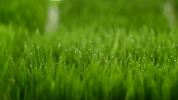 green shoots of wheat, healthy eating, close-up