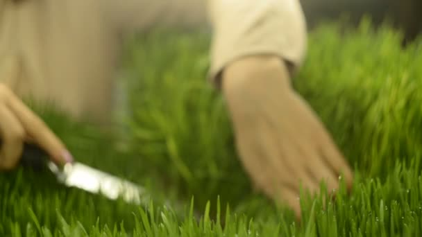 Female hands cut sprouts of wheat, healthy food
