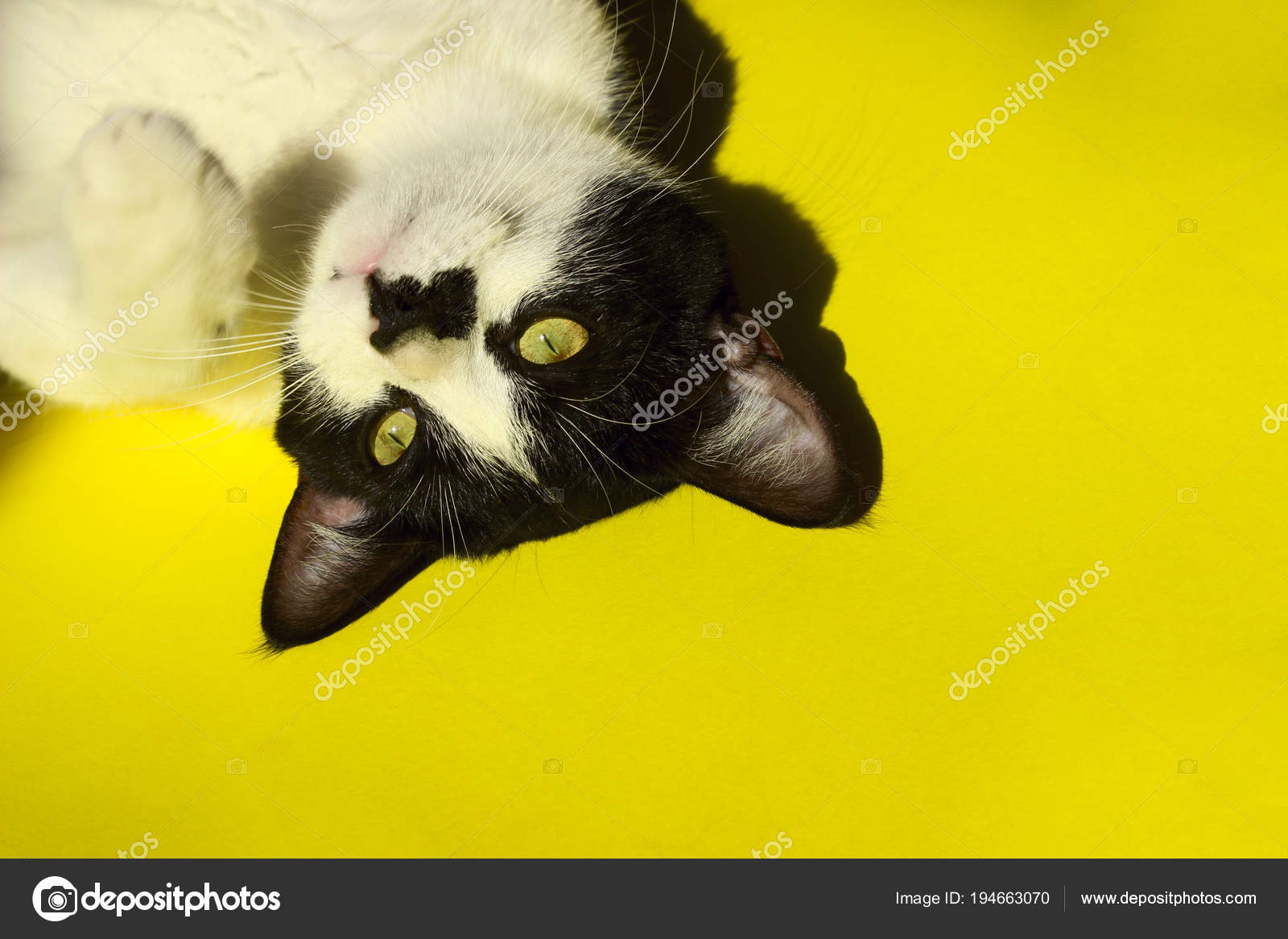 Black Cat Yellow Background Cropped Shot Tuxedo Cat Yellow Background Stock Photo C Stepunina Gmail Com 194663070