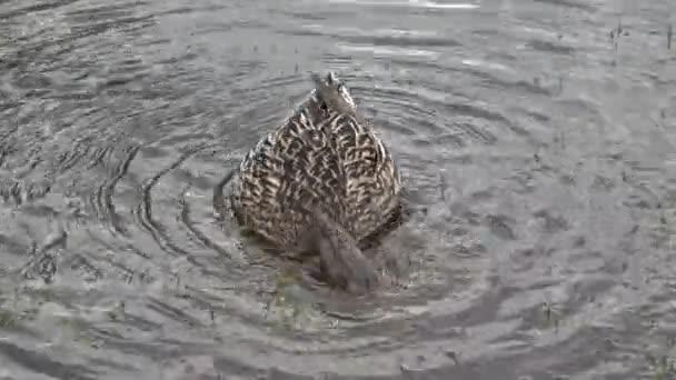 Kachna na jezeře v parku
