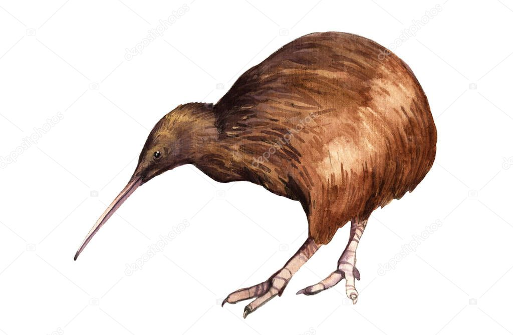 Watercolor illustration of a kiwi bird